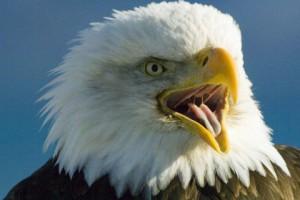21st century skills project over Amerikaanse Zeearend